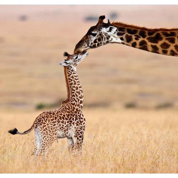 Семействр жирафов